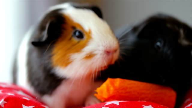 guinea pig. - pig stock videos & royalty-free footage