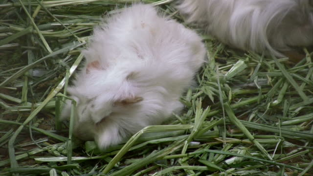 guinea pig - hay stock videos & royalty-free footage
