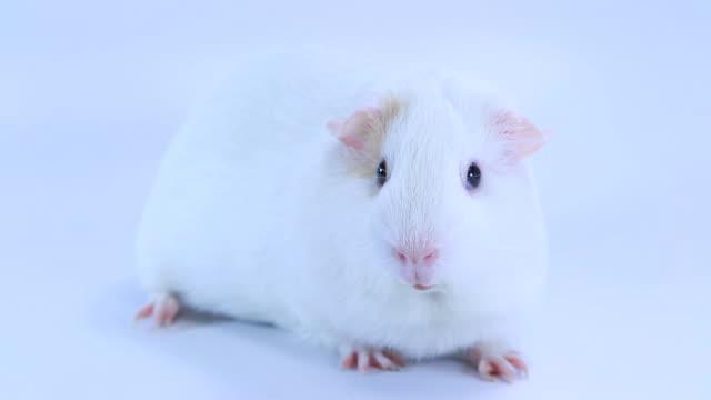 vídeos y material grabado en eventos de stock de conejillo de indias - hamster