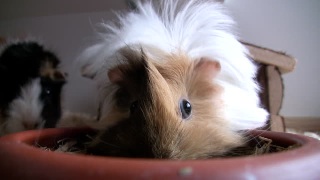 guinea pig - pets stock videos & royalty-free footage