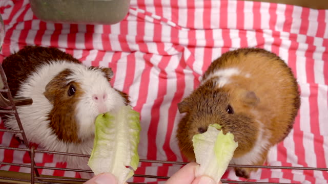 guinea pigs - two animals stock videos & royalty-free footage