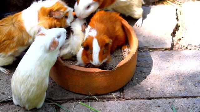 guinea pigs - morrhår bildbanksvideor och videomaterial från bakom kulisserna