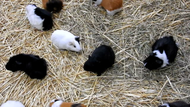 guinea pigs walking on hay - hay background stock videos & royalty-free footage