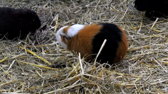guinea pigs with their babies walking on hay - hay stock videos & royalty-free footage