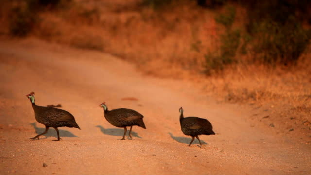 guineafowl crossing the road at dawn/ kruger national park/ south africa - provinz mpumalanga stock-videos und b-roll-filmmaterial
