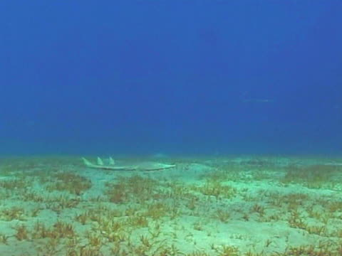 vídeos y material grabado en eventos de stock de guitar shark swimming along seabed with shafts on sunlight playing on sand ha ws - grupo pequeño de animales
