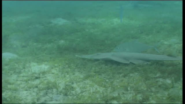 Guitarfish (unknown sp) forages on grassy sea floor with jack in attendance. Red Sea near Marsa Alam, Egypt