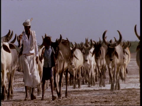 mcu gujarat, indian man and boy lead herd of cattle through desert, to camera, gujarat, india - tradition stock-videos und b-roll-filmmaterial