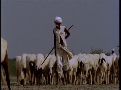 MCU Gujarat, Indian man leading flock of sheep, to camera, Gujarat, India