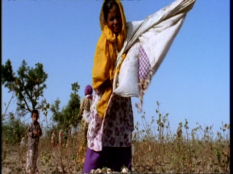 ms gujarat, indian woman emptying cotton bolls into open sack, tilt down, gujarat, india - indigenous culture stock videos & royalty-free footage