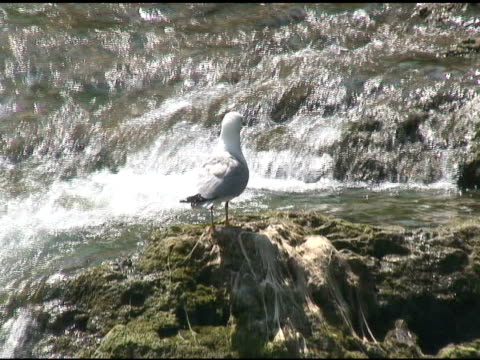gull 4-ntsc mit ton - fluss niagara river stock-videos und b-roll-filmmaterial