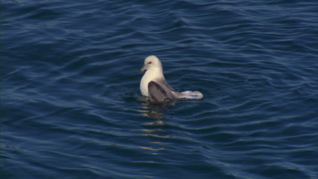 a gull bathes in a sea in iceland. - seagull stock videos & royalty-free footage