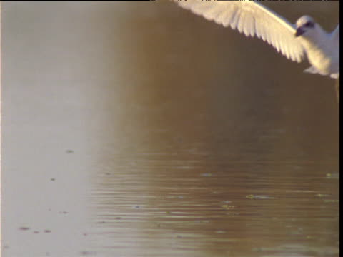 Gull billed tern swoops and catches fish from lake surface, Diamantina, Queensland, Australia
