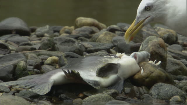 a gull feeds on a salmon carcass. - seagull stock videos & royalty-free footage