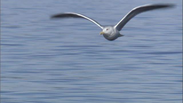 A gull flies low over the ocean. Available in HD.