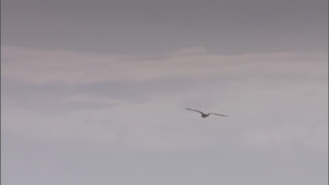 a gull flies over buildings. - sea bird stock videos & royalty-free footage