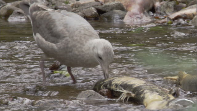 gull scavenges dead salmon at river edge, british columbia, canada - dead animal stock videos & royalty-free footage