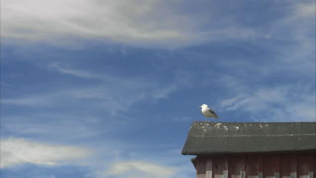 vídeos de stock, filmes e b-roll de a gull sitting on a roof huvudskar stockholm archipelago sweden. - organismo aquático