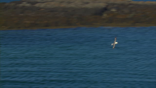 A gull soars near a coast in Iceland.