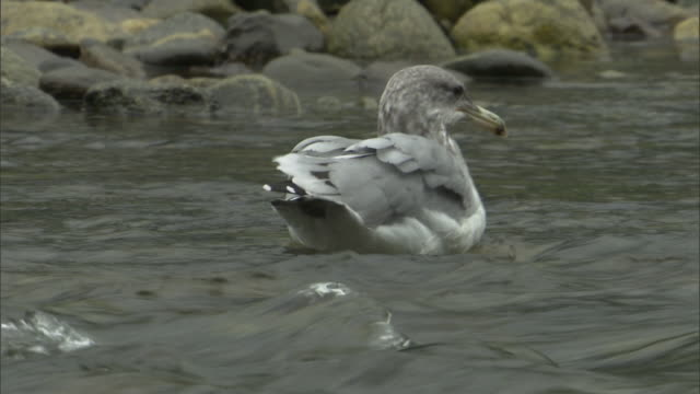 a gull tries to swim upstream, flutters ahead, and then floats. - seagull stock videos & royalty-free footage