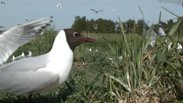 ms gull walking on grass field and other gulls in background / visby, nar, ljugarn, gotland, sweden  - grass area stock videos & royalty-free footage
