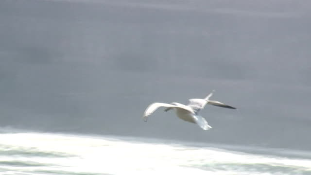 gulls 7-08s: hd 1080/60i with sound - river niagara stock videos and b-roll footage