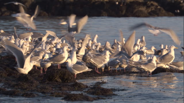 Gulls feed in shallow coastal waters. Available in HD.