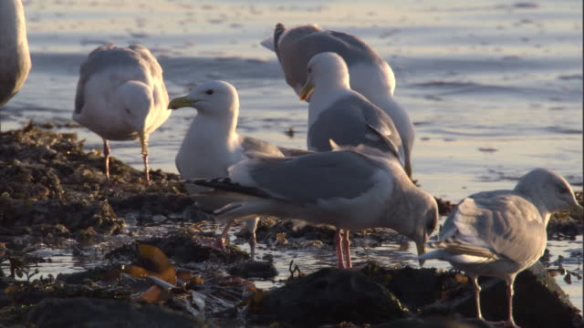 Gulls forage among flotsam in shallow coastal waters. Available in HD.