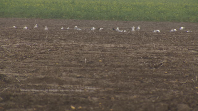 gulls form a line whilst pecking at soggy ground in a muddy field, northern france. - seed stock videos & royalty-free footage