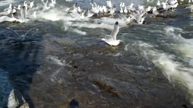 gulls hunt pearl mullet at the fish weir in ercis distrcit of turkey's eastern province van on july 07 2016 pearl mullet is the only fish that can... - lake van stock videos and b-roll footage