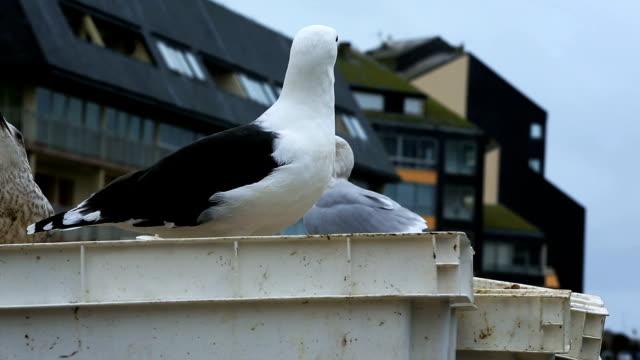 Gulls in an urban area, Courseulles sur Mer, Calvados, Normandy, France