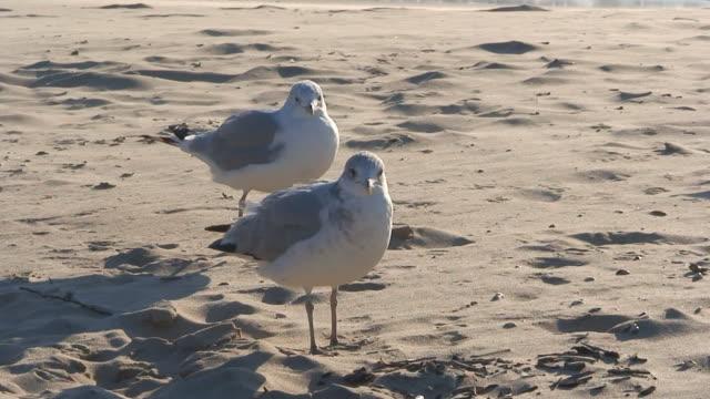 stockvideo's en b-roll-footage met gulls in the sand - vier dieren