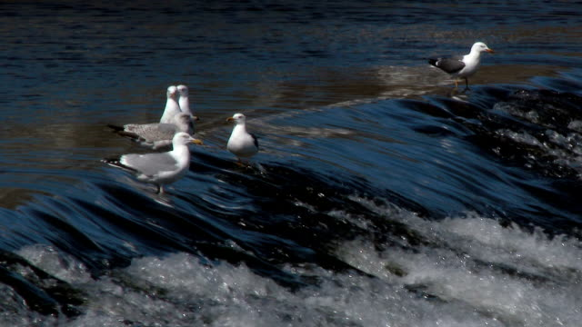 Gulls on a weir in the River Nith, Dumfries, Scotland