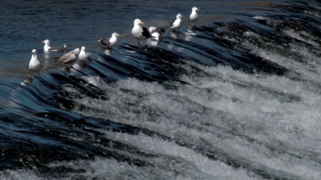Gulls on a weir on the River Nith, Dumfries, Scotland