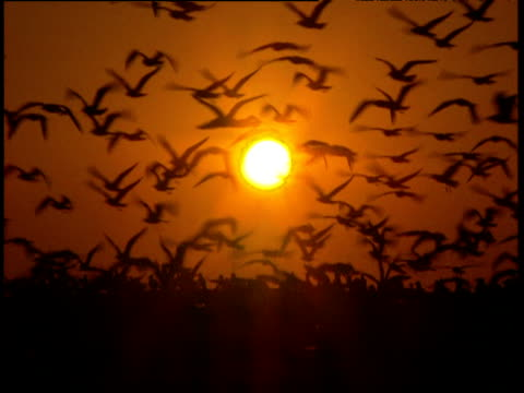 Gulls on beach silhouetted against orange sunset gulls fly up into air flapping wings