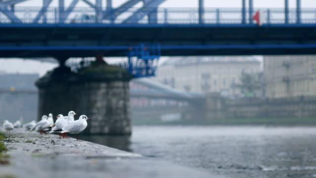 Gulls on River