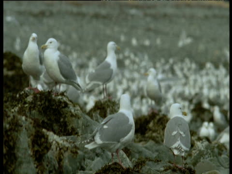 "vidéos et rushes de gulls on rocks, one preens, montague island, alaska - ""bbc natural history"""