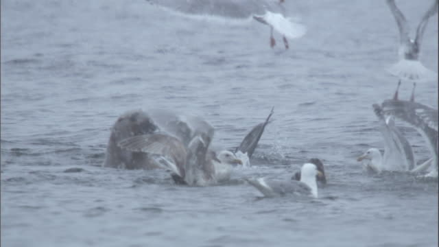 gulls squabble over scraps near a steller's sea lion. available in hd. - greed stock videos & royalty-free footage