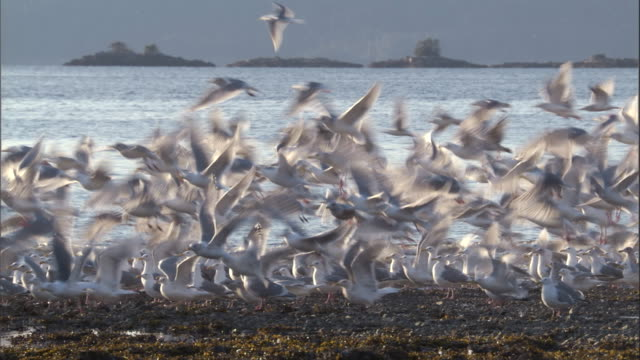 Gulls take off and land on a coastal beach. Available in HD.
