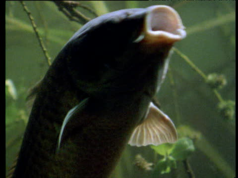gulping carp swim past camera, uk - gill stock videos & royalty-free footage