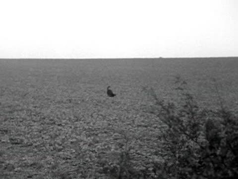 stockvideo's en b-roll-footage met a gun dog retrieves a dead pheasant during a gun dog competition - vogeljacht