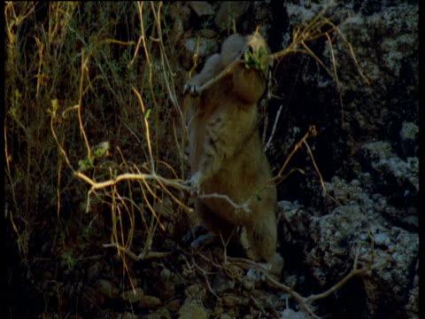 gundi perches on plant as it nibbles at it, atlas mountains, morocco - 小枝点の映像素材/bロール