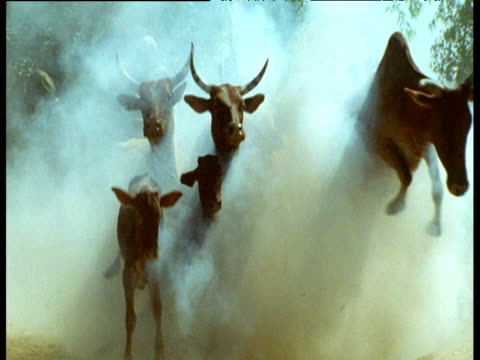 gunshot and smoke drives herd of zebu cattle towards river crossing, mali - bbc stock videos and b-roll footage