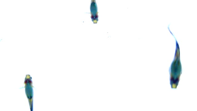 guppy fish, swimming on white background - pampered pets stock videos and b-roll footage
