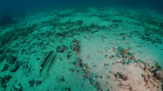 Gurnard fish walking at undersea sand in Galapagos