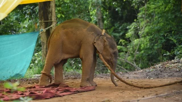guwahati, assam, india. 16 june 2020. a wild elephant calf, which was rescued after she stray away from her herd, at assam state zoo in guwahati on... - glucose stock videos & royalty-free footage