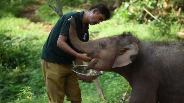 guwahati, assam, india. 16 june 2020. an animal keeper feeds a wild elephant calf, which was rescued after she stray away from her herd, at assam... - glucose syrup stock videos & royalty-free footage