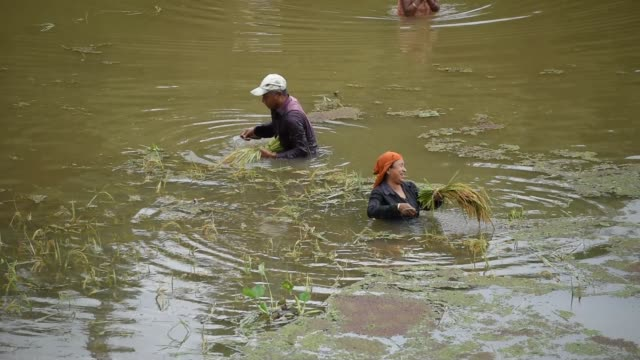 guwahati assam india 27 may 2020 women harvesting paddy in a submerged paddy field at a flood affected village in kamrup district of assam in india... - strohhut stock-videos und b-roll-filmmaterial