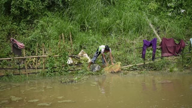 stockvideo's en b-roll-footage met guwahati assam india 27 may 2020 women harvesting paddy in a submerged paddy field at a flood affected village in kamrup district of assam in india... - strohoed