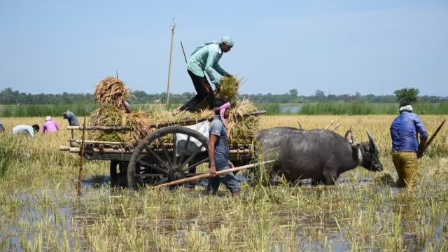 guwahati, assam, india. 29 may 2020. farmers load paddy on a bullock-cart in a flood affected field at mayong village in morigaon district of assam,... - rice stock videos & royalty-free footage